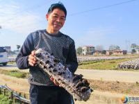 大祥区台上村有一片无公害生态种植的黑木耳 快去采鲜