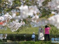 樱花绽放春意浓