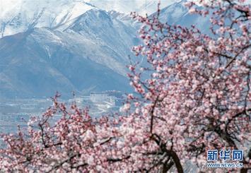 西藏:山寺桃花开