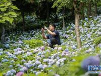 重庆开州:多彩绣球迎客来