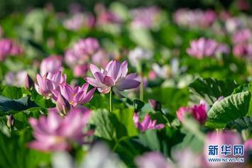 吉林镇赉:环城国家湿地公园荷花绽放