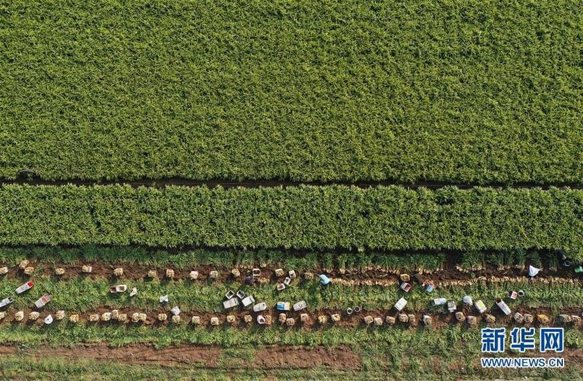 河北丰润:万亩生姜喜获丰收