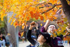 北京坡峰岭:金秋红叶引游人