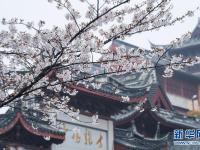 南京:春日赏樱