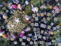 海南万宁:菠萝上市