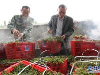 湖南衡阳:蕨菜飘香采收忙