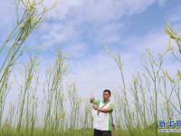湖南祁东:黄花菜丰收富农家