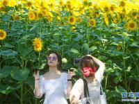 夏日里的向日葵