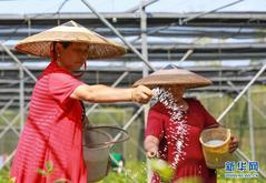 贵州玉屏:油茶苗圃管护忙